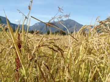I cereali, la farina e il riso